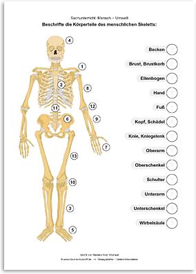 Download => Das menschliche Skelett (1)